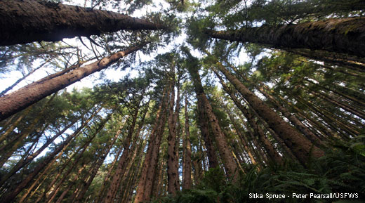 Photo, looking up at a group of sitka spruce trees